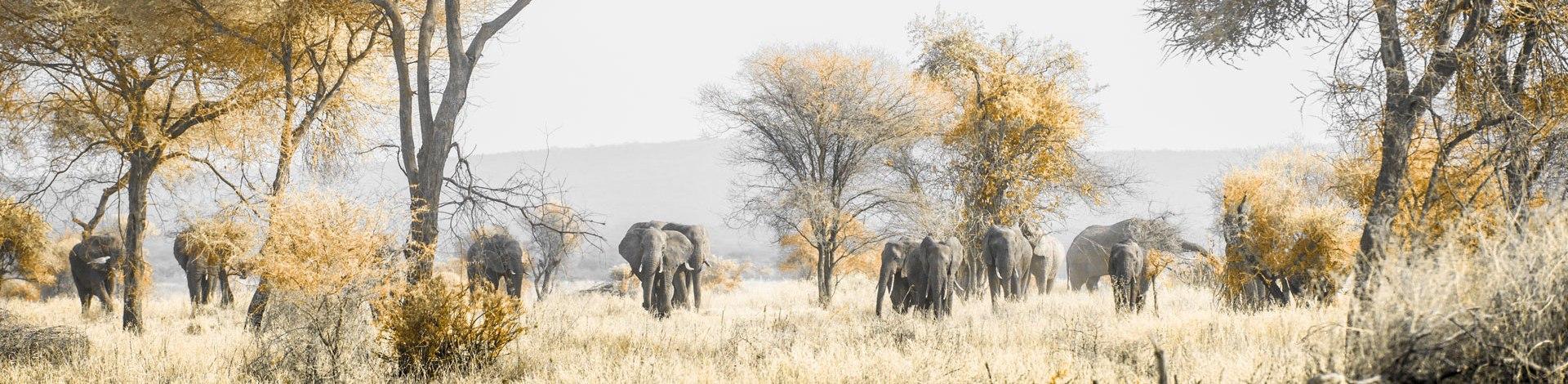 Tansania: Panoramaaufnahme von einer Elefantenherde in der afrikanischen Steppe